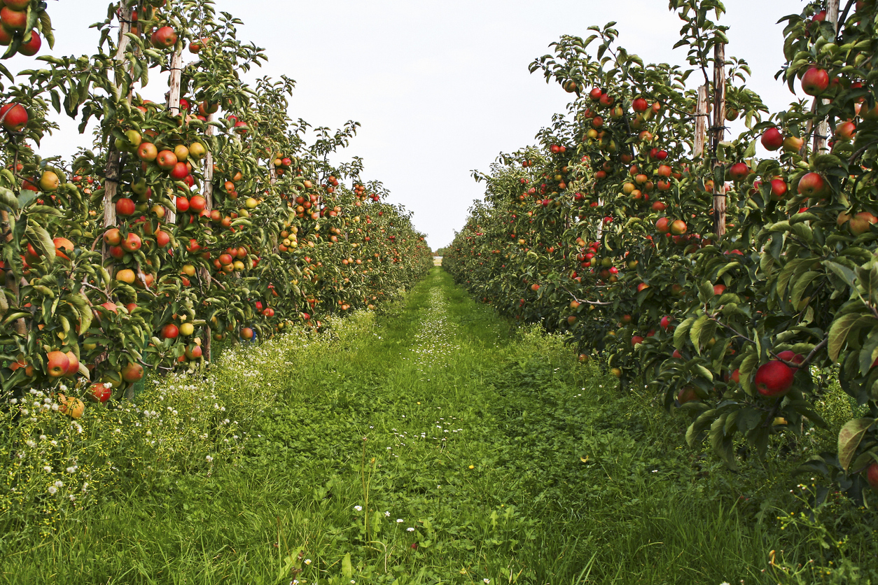 """""""Orchard with ripe apples, please see also my other images of orchards, apples and pears in my lightbox:"""""""